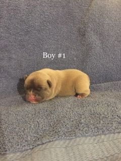 French Bulldog PUPPY FOR SALE ADN-100462 - French Bulldog Puppies right in time for Christmas
