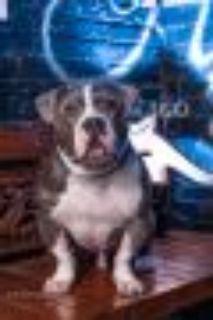 Mark American Bulldog - Basset Hound Dog
