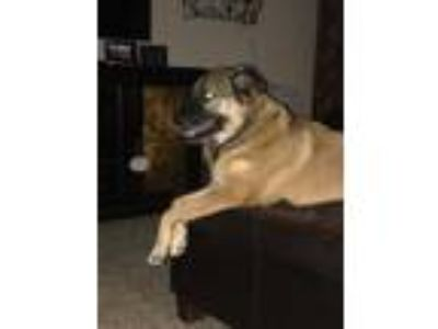 Adopt Marley a German Shepherd Dog, Mastiff