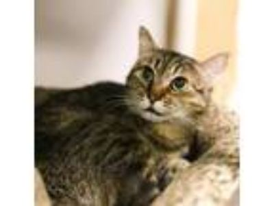 Adopt Sarah a Domestic Shorthair / Mixed cat in Austin, TX (22626157)