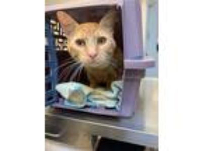 Adopt Dempsey (mcas) a Domestic Shorthair / Mixed (short coat) cat in Troutdale