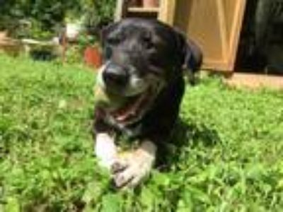 Adopt Max a Black - with White Labrador Retriever / Blue Heeler / Mixed dog in