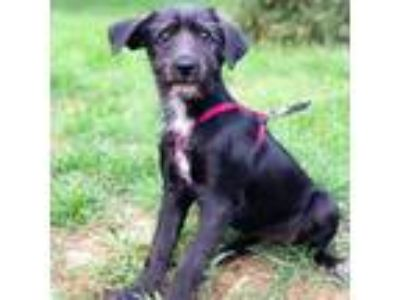 Adopt Tiana (Izzy's Rescue) a Black - with White Terrier (Unknown Type