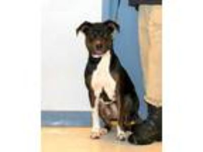 Adopt DOG IN DANGER Liana 6295 a Tricolor (Tan/Brown & Black & White) Rottweiler