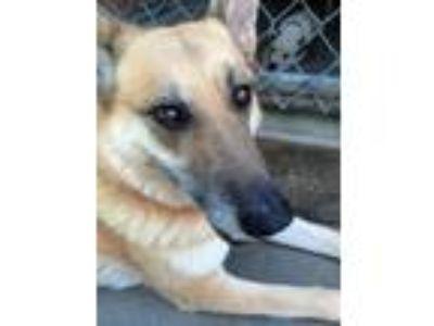 Adopt Dolce a German Shepherd Dog