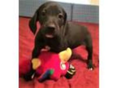 Adopt Dandy a Black - with White Labrador Retriever / Mixed dog in Glenwood