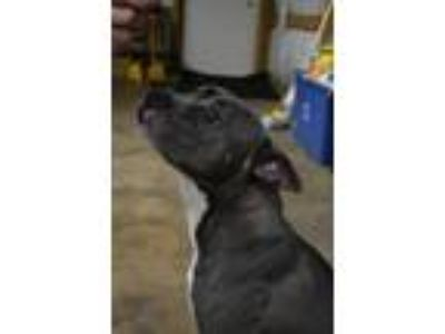 Adopt Darla a Pit Bull Terrier, American Staffordshire Terrier