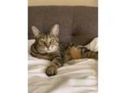 Adopt Princess a Tiger Striped American Shorthair cat in Diamond Bar