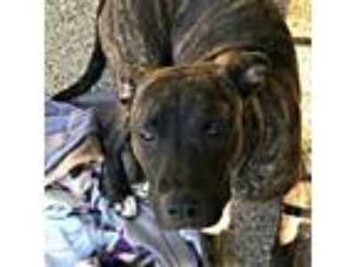 Adopt Garcia a Black - with Tan, Yellow or Fawn American Pit Bull Terrier /