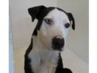 Adopt Galileo a Labrador Retriever, Terrier