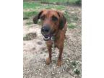 Adopt Rocky a Brown/Chocolate Hound (Unknown Type) / Mixed dog in O'fallon