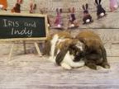 Adopt Ivy a Lop-Eared / Mixed rabbit in Columbus, OH (25857156)