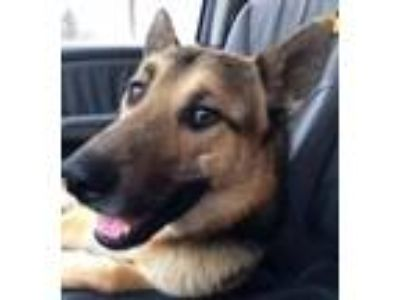 Adopt Wesley a German Shepherd Dog