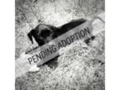 Adopt Madison a Labrador Retriever