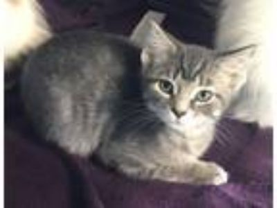 Adopt Enzo a Domestic Short Hair