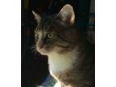 Adopt Buddy a Gray, Blue or Silver Tabby Polydactyl/Hemingway / Mixed (medium