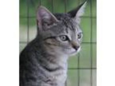 Adopt Zoe a Domestic Shorthair / Mixed (short coat) cat in North Fort Myers
