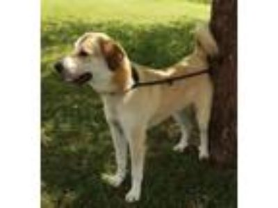 Adopt Grizzly a Great Pyrenees