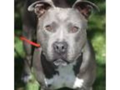 Adopt Cherry a Pit Bull Terrier, Mixed Breed