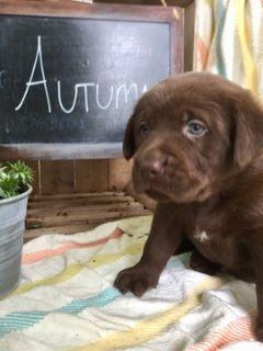 Labrador Retriever PUPPY FOR SALE ADN-90386 - AKC REGISTERED ENGLISH LABRADOR RETRIEVERS