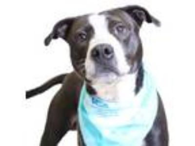 Adopt Tank a Black American Pit Bull Terrier / Mixed dog in Chico, CA (25335916)