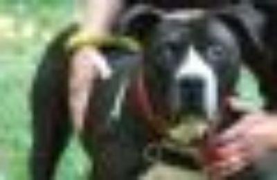 Tee Pit Bull Terrier Dog