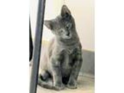 Adopt Rooster a Domestic Shorthair / Mixed (short coat) cat in Clinton