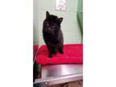 Adopt Nyx a Domestic Short Hair