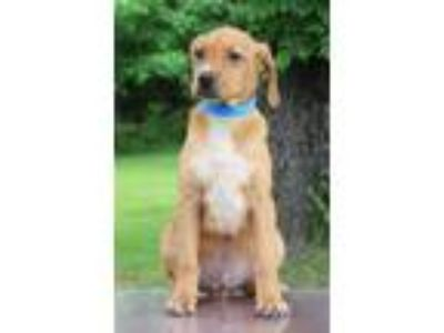 Adopt Ollie a Tan/Yellow/Fawn - with White Hound (Unknown Type) / Mixed dog in