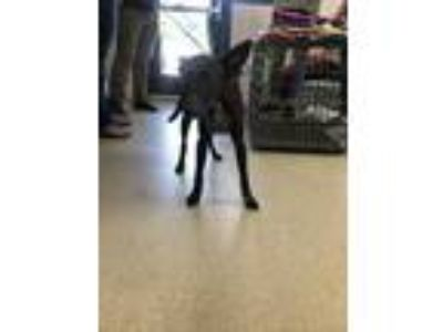 Adopt 42187188 a Black Retriever (Unknown Type) / Mixed dog in Fort Worth