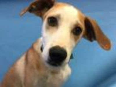 Adopt Matt a Hound, Mixed Breed