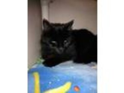 Adopt Binx a All Black Domestic Longhair / Domestic Shorthair / Mixed cat in