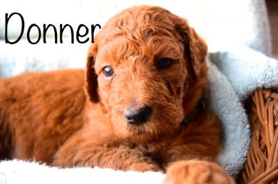 Goldendoodle PUPPY FOR SALE ADN-104388 - Standard F1b Dark Red Goldendoodle