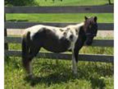 Adopt Dice a Miniature Horse