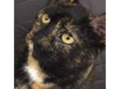 Adopt Lydia- VERY LOVING LAP CAT a Domestic Short Hair, Tortoiseshell
