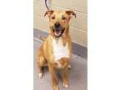 Adopt Riley a Brown/Chocolate German Shepherd Dog / Mixed dog in Cleveland
