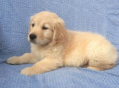 AKC Golden Retriever Puppies.