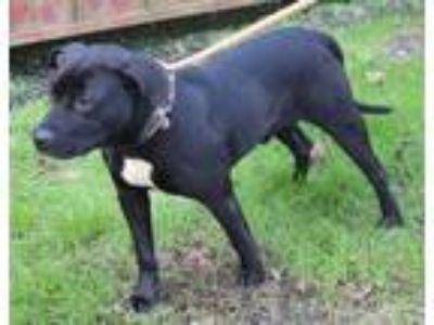 Adopt Cobra a Pit Bull Terrier / Mixed dog in Salisbury, MD (23974353)