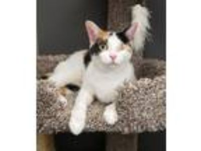 Adopt Ariel-Special needs One eye a Domestic Short Hair