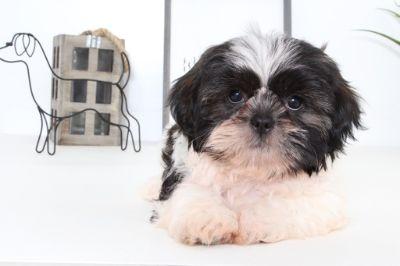 Shih Tzu PUPPY FOR SALE ADN-99054 - Bentley Malle Shih Tzu Puppy