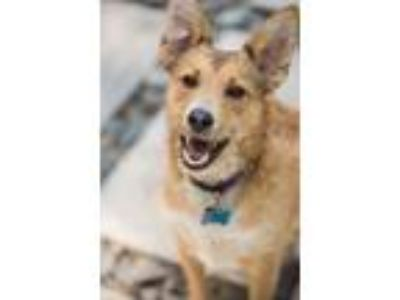 Adopt Ollie a Wirehaired Terrier, Collie