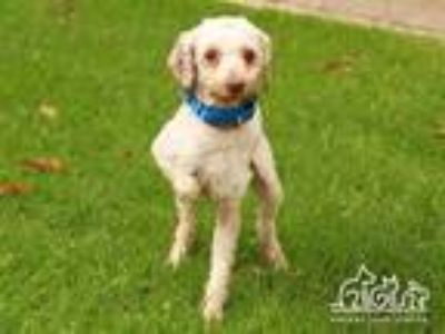 Adopt SEYMOUR a White Poodle (Miniature) / Mixed dog in Irvine, CA (25930698)