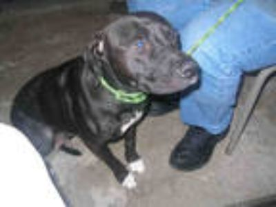 Adopt LUCY a Black - with White Labrador Retriever / Mixed dog in Fort Walton
