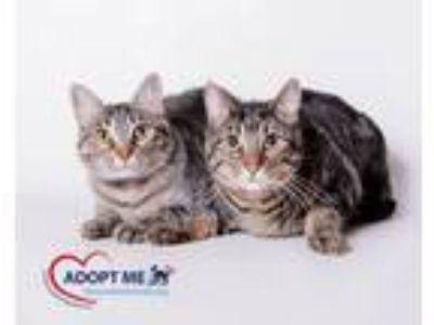 Adopt Penelope a Gray, Blue or Silver Tabby Domestic Shorthair (short coat) cat