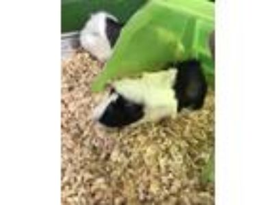 Adopt Pudge a Black Guinea Pig / Guinea Pig / Mixed small animal in Waldorf