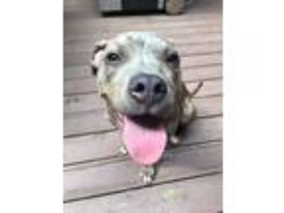 Adopt Bailey a Brindle Pit Bull Terrier / American Pit Bull Terrier / Mixed dog