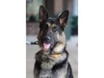 Adopt Fred a Black - with Tan, Yellow or Fawn German Shepherd Dog / Mixed dog in