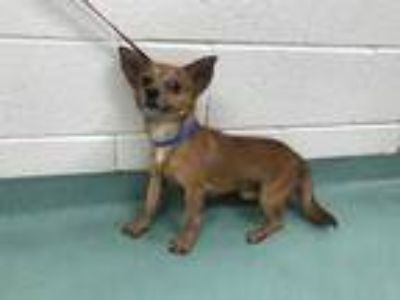 Adopt BROWNIE a Brown/Chocolate Mixed Breed (Medium) / Mixed dog in Memphis