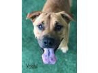 Adopt YOSHI AND YARIS a Labrador Retriever