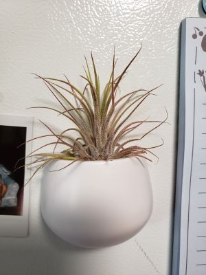 Air plant in magnetic pot, no soil, live plant, thrives on neglect